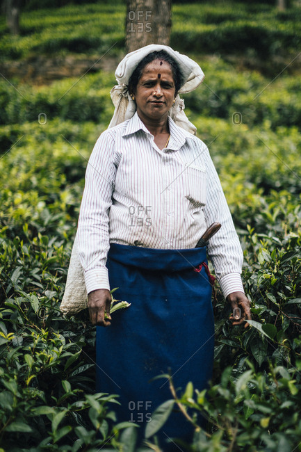 Ella, Sri Lanka - February 2, 2018: Woman plantation worker standing in tea field in central Sri Lanka