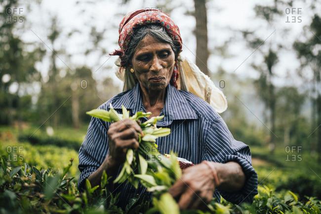 Ella, Sri Lanka - February 2, 2018: Elderly female farm worker picks tea leaves central Sri Lanka