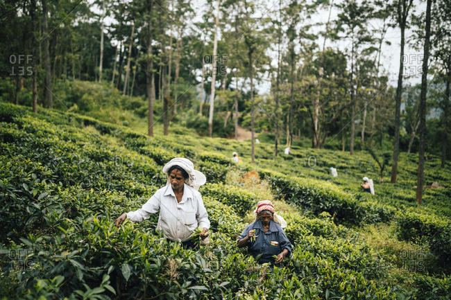 Ella, Sri Lanka - February 2, 2018: Women pick leaves at a tea plantation in the hills of central Sri Lanka