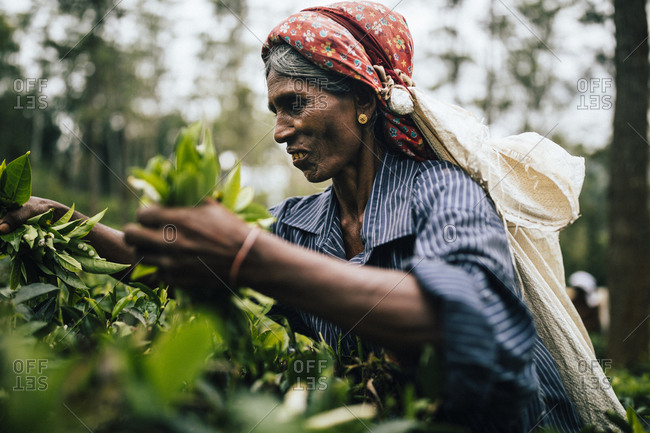 Ella, Sri Lanka - February 2, 2018: Woman working on a tea plantation in central Sri Lanka