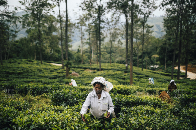 Ella, Sri Lanka - February 2, 2018: Female plantation workers pick tea leaves in central Sri Lanka