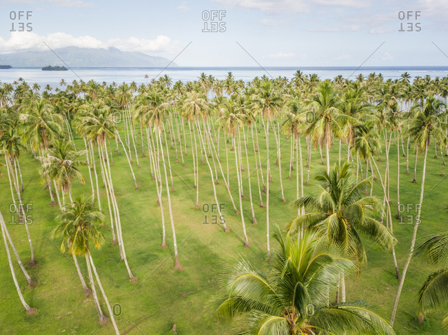 Aerial view of a forest of palm trees in Tahiti coast, French Polynesia.