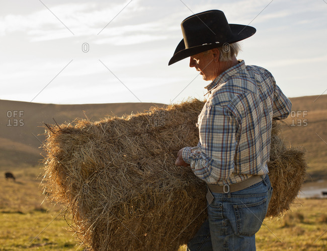 Farmer placing hay on his paddock