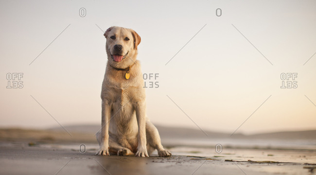 Portrait of dog sitting in the sand at the beach