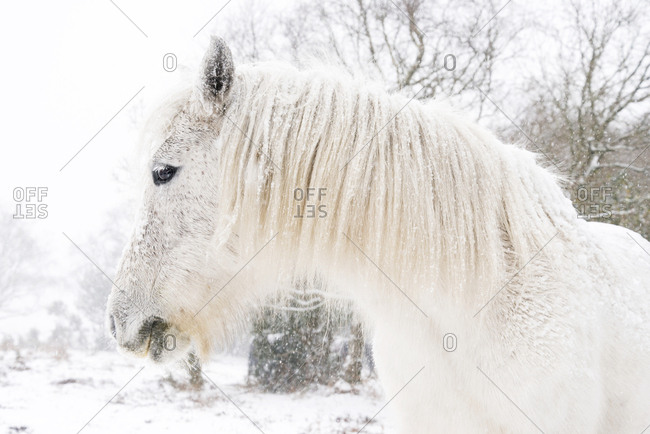 Portrait of a white horse standing in profile on a snowy winter's day in the New Forest Dorset, UK