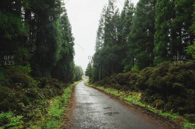 Perspective view of long empty wet road running among green trees of spooky forest.
