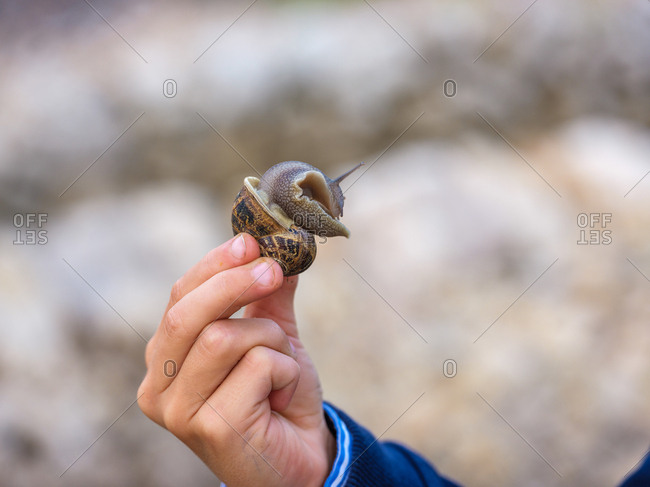 Crop male hand in close-up holding big snail in shell.