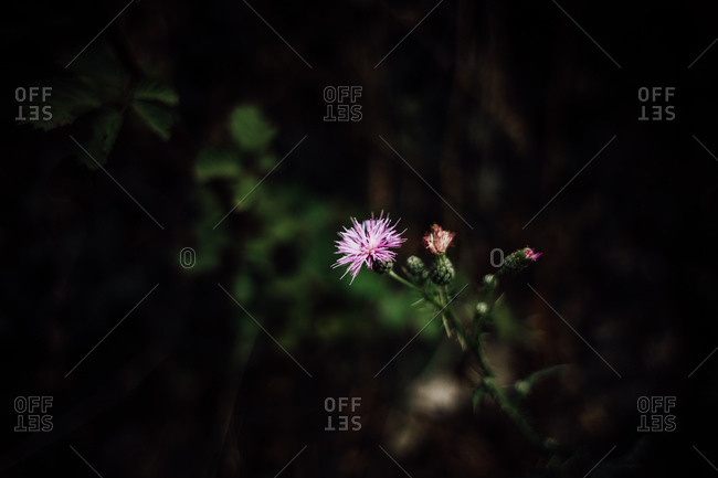 Solitary bloom of pink thistle wildflower
