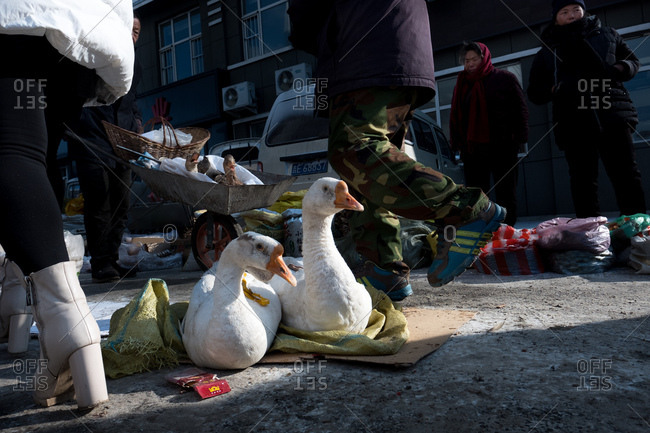 Changbai, China - December 19, 2017: Ducks sitting on the ground at an outdoor street market