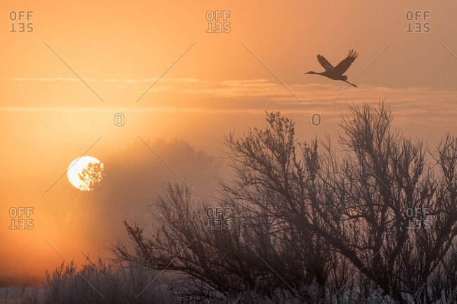 Sandhill Crane in flight at sunrise