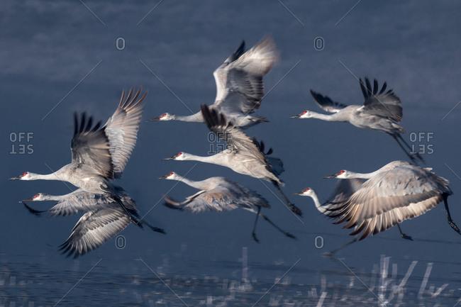 Sanhill Cranes takeoff at sunrise