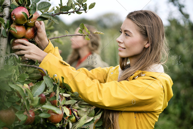 Smiling woman harvesting apples from tree