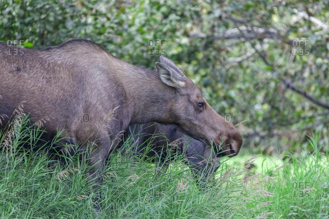 USA- Alaska- Anchorage: Elk- Kincaid Park