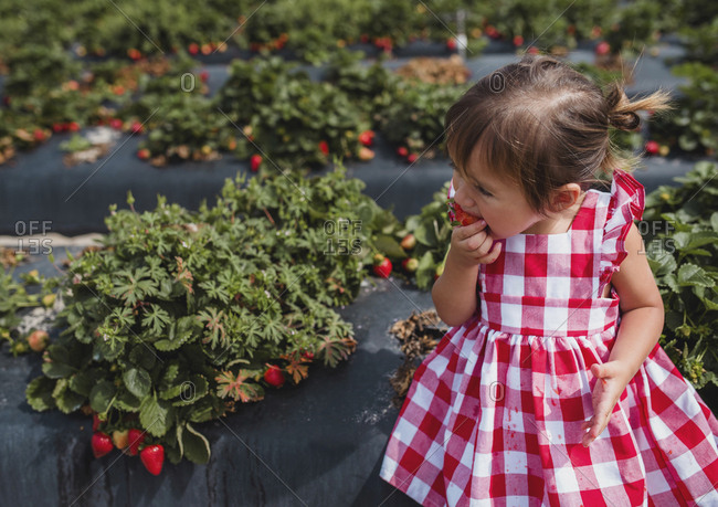 Toddler eating strawberries at a farm in Florida