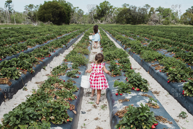 Toddler girl carrying a bucket walking behind sister in a strawberry field