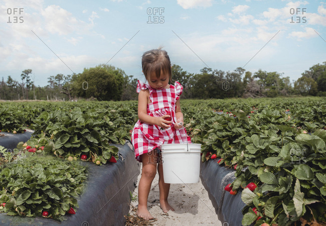 Toddler girl picking strawberries in Florida