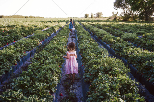 Two sisters in strawberry field in Florida
