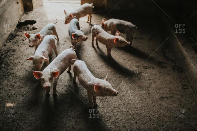 Herd of piglets in their pen
