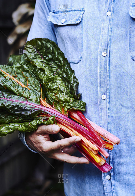 Person holding freshly picked bunch of rainbow chard