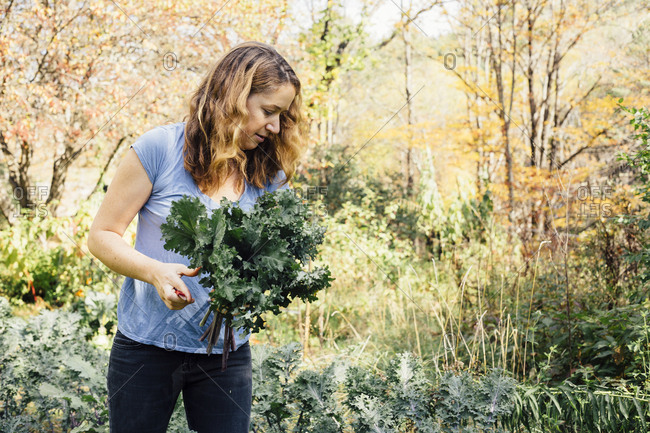 Female chef harvesting fresh kale and Swiss chard from garden in Vermont