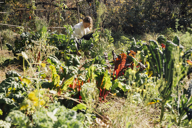 Female chef harvesting fresh vegetables from garden in Vermont