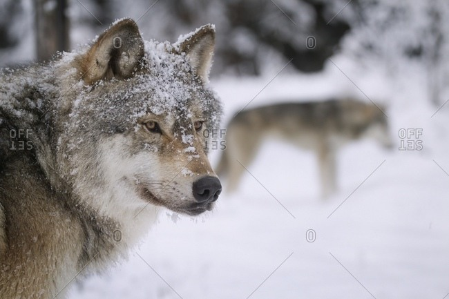 November 20, 2004: Close-up portrait of two wolves in the snowy wilderness