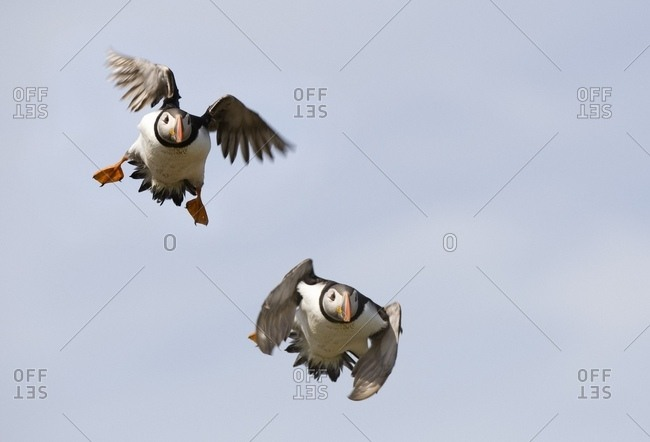 Northumberland,England - July 15, 2007: Farne Islands, England; Puffins In Flight