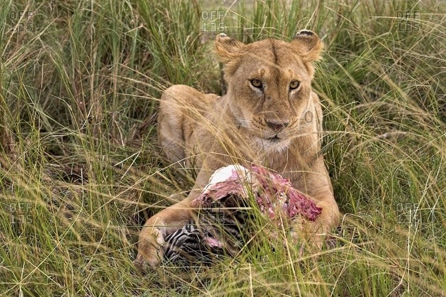 Masai Mara, Kenya, Africa - July 28, 2006: Lioness; Masai Mara, Kenya; Lioness With Prey