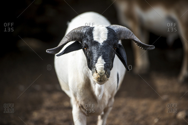 Ghanzi, Botswana - February 25, 2015: Sheep (Ovis Aries); Ghanzi, Botswana