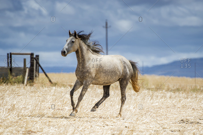 Cape Town, Western Cape, South Africa - February 5, 2015: Horse Running In A Field; Cape Town, Western Cape, South Africa