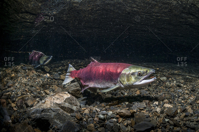 Alaska, United States of America - July 28, 2012: A Female Sockeye Salmon (Oncorhynchus Nerka) Uses Her Anal Fin To Probe Her Redd While A Jack Is Positioned Downstream. Underwater View In An Alaskan Stream During The Summer.