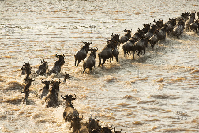 Tanzania - August 17, 2015: Migrating Wildebeest (Connochaetes Taurinus) Cross The Flooded Mara River In Serengeti National Park; Tanzania
