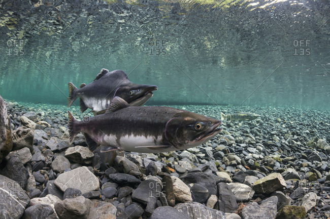 Alaska, United States of America - August 11, 2012: Pink Salmon (Oncorhynchus Gorbuscha) Probes Her Redd While Her Alpha Male Guards In An Alaska Stream During Summer.