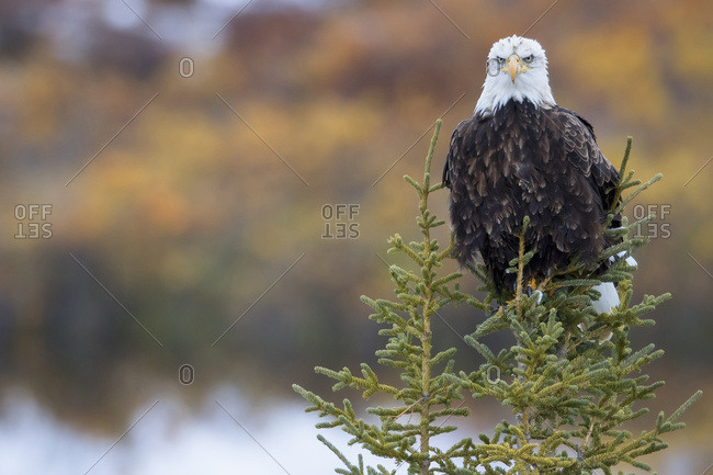 Yukon, Canada - September 2, 2015: Bald Eagle (Haliaeetus Leucocephalus) Sitting On A Tree Along The Dempster Highway; Yukon, Canada
