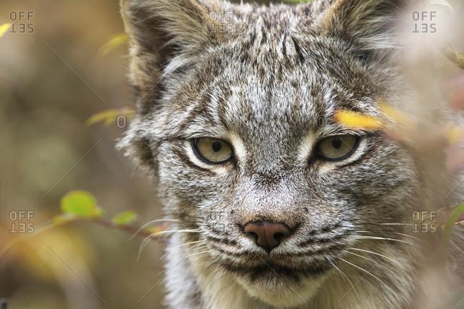 Yukon, Canada - September 11, 2015: Canadian Lynx (Lynx Canadensis) Walking Through The Underbrush; Yukon, Canada