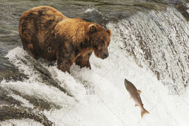 Alaska, United States of America - July 29, 2015: A Brown Bear (Ursus Arctic) With A Scar On It's Back Staring At A Salmon Just Feet Away From It's Mouth, Brooks Falls; Alaska, United States Of America