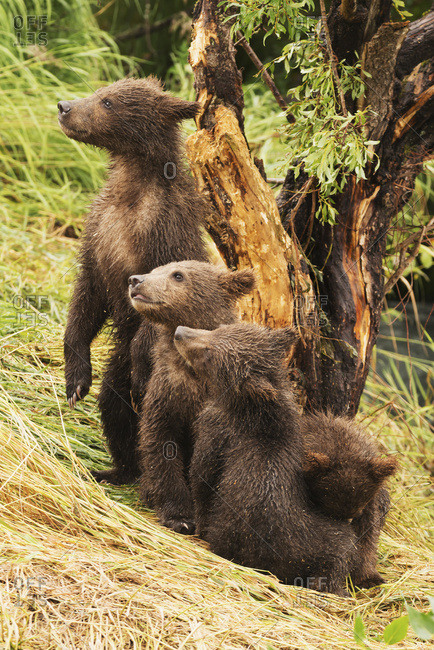 Alaska, United States of America - July 26, 2015: Four Brown Bear Cubs (Ursus Arctos) Are In A Row Under A Tree On The Grassy Bank Of Brooks River; Alaska, United States Of America