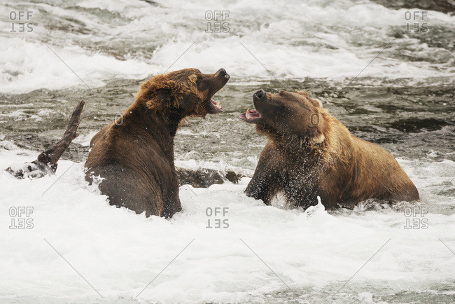 Alaska, United States of America - July 28, 2015: Two Brown Bears (Ursus Arctos) Roaring At Each Other Beside A Log In The Shallow Rapids Of Brooks River, Alaska, United States Of America