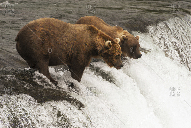 Alaska, United States of America - July 29, 2015: Two Brown Bears (Ursus Arctos) Staring Intently At The Water From The Top Of Brooks Falls, Waiting For Salmon To Jump; Alaska, United States Of America