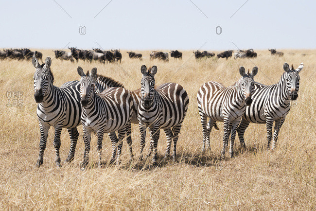 Narok, Kenya - August 24, 2015: A Line Of Five Zebra (Equus Quagga) Stare At The Camera Surrounded By The Long Grass Of The African Savannah, A Herd Of Wildebeest (Connochaetes) Seen On The Horizon In The Background Beneath A Blue Sky; Narok, Kenya