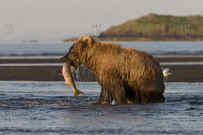 Alaska, United States of America - July 12, 2009: Brown Bear (Ursus Arctos) Fishing With Fish In It's Mouth, Katmai National Park; Alaska, United States Of America