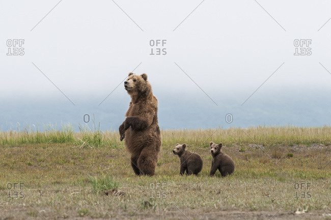 Alaska, United States of America - July 11, 2009: Brown Bear (Ursus Arctos) And Cubs Standing In A Row, Katmai National Park; Alaska, United States Of America