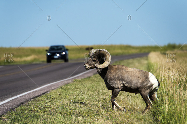Alberta, Canada - July 8, 2016: Bighorn Sheep (Ovis Canadensis) At The Side Of The Road With A Vehicle Approaching, Badlands National Park; Alberta, Canada