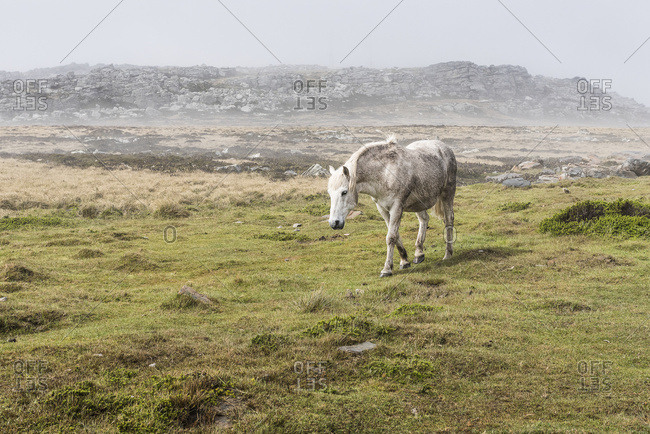 - November 23, 2014: A Wild, White Horse Walking In A Foggy Field