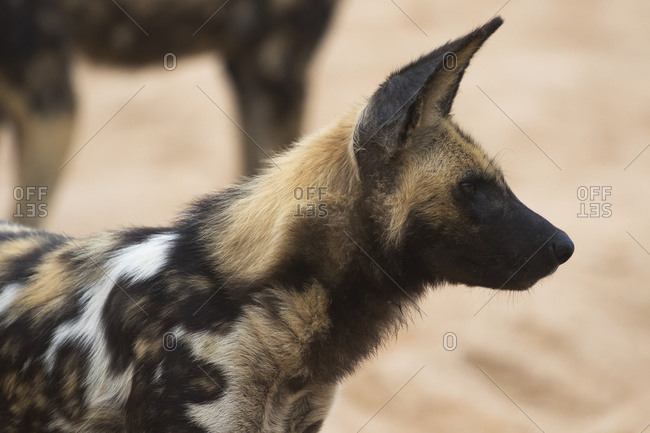 South Africa - March 22, 2016: Cape Hunting Dog (Lycaon Pictus), Sabi Sand Game Reserve; South Africa