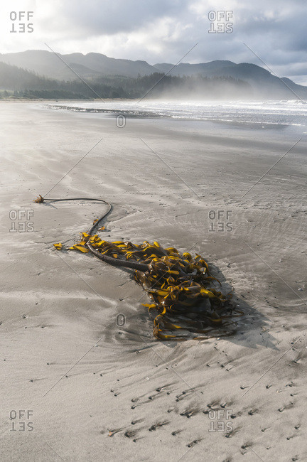 Washington, United States of America - April 10, 2014: Kelp On The Beach And Clouds Over The Coastline; Washington, United States Of America