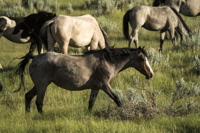 North Dakota, United States of America - July 3, 2016: Wild Horses, Theodore Roosevelt National Park; North Dakota, United States Of America