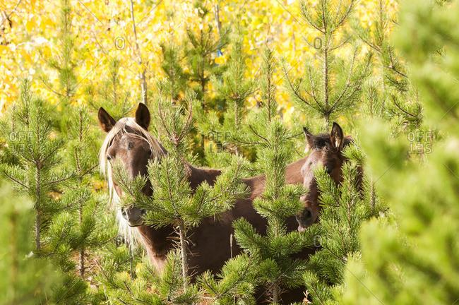 Sundre, Alberta, Canada - September 25, 2011: Wild Horses Standing In The Bush; Sundre, Alberta, Canada