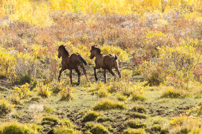 Sundre, Alberta, Canada - September 25, 2011: Wild Horses Running Through A Field Of Brush In Autumn; Sundre, Alberta, Canada