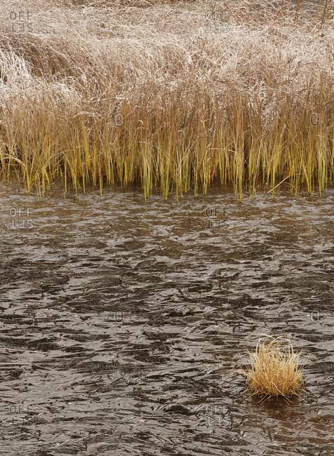 Thunder Bay, Ontario, Canada - October 30, 2015: Frosty Grass With Ice Along A Pond; Thunder Bay, Ontario, Canada